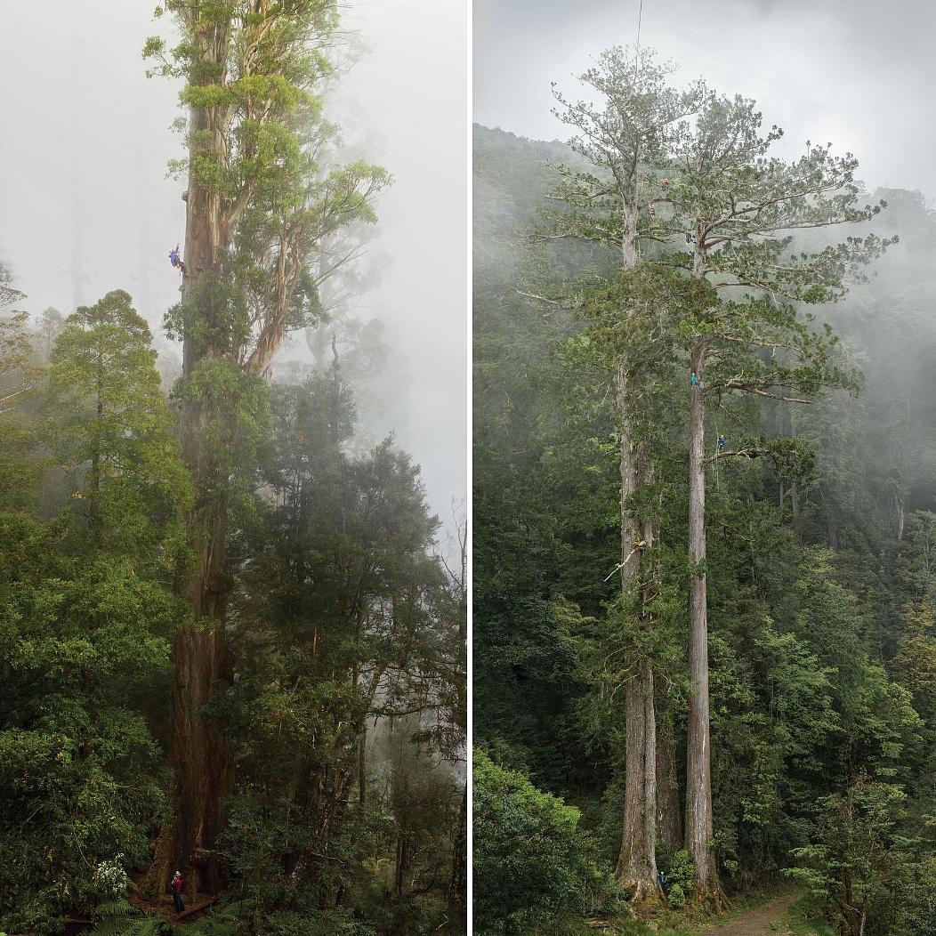 Két ember, akik a világ legmagasabb fáit fényképezik, hogy unokáik is láthassák őket